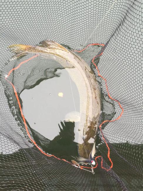 Fisk i håven